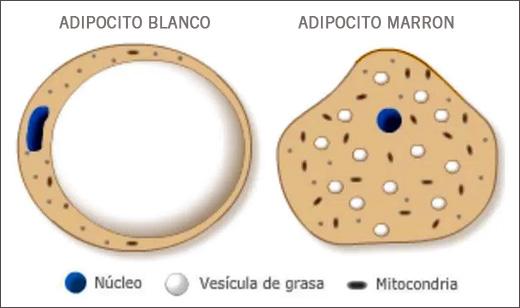 Los adipocitos, las células encargadas de producir y almacenar ...